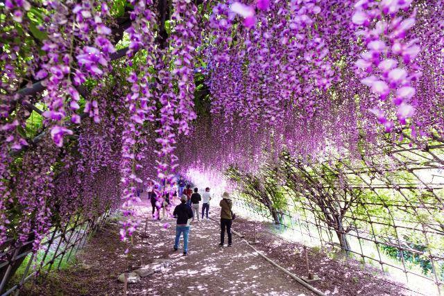 Dois túneis de glicínias, com cem metros de comprimento, fazem parte das atrações do Jardim das Glicínias de Kawachi Fujien tak-photo/Shutterstock.com