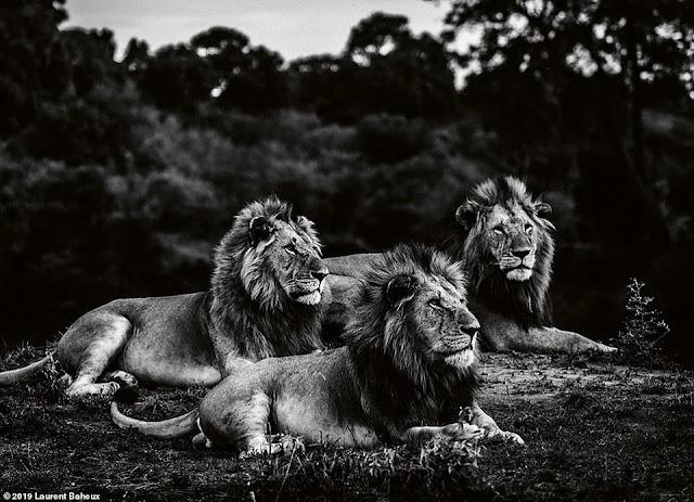 Bộ ảnh vua sư tử được chụp ở các nước Châu Phi trong 17 năm