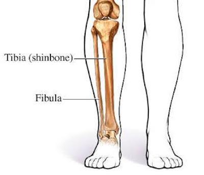 tulang kering atau tulang tibia manusia