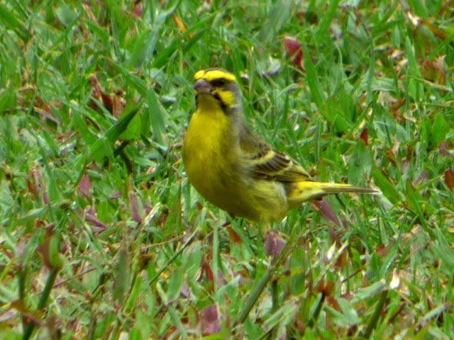 Geotripper's California Birds: Yellow-fronted Canary on ...