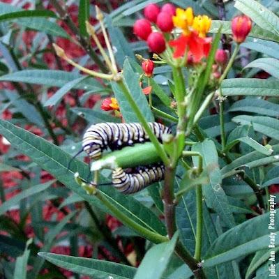 Monarch Caterpillars Eating Tropical Milkweed Seed Pod