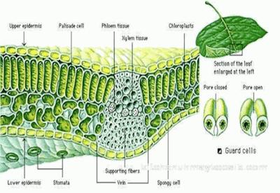 Organel Sel Tumbuhan: Gambar, Struktur dan Fungsinya Lengkap