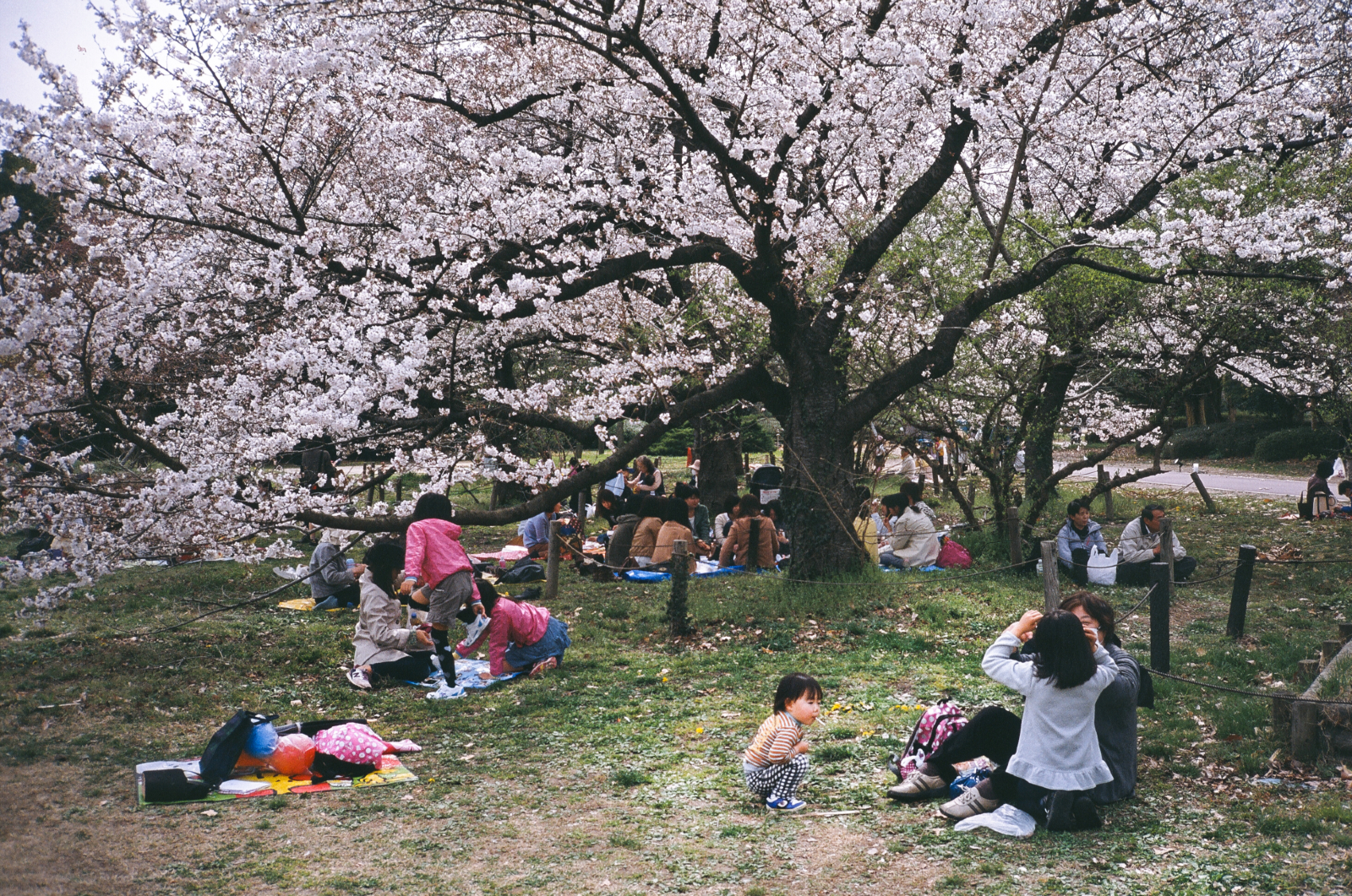 「京都府立植物園」野餐 | 櫻花祭 | 攝影集