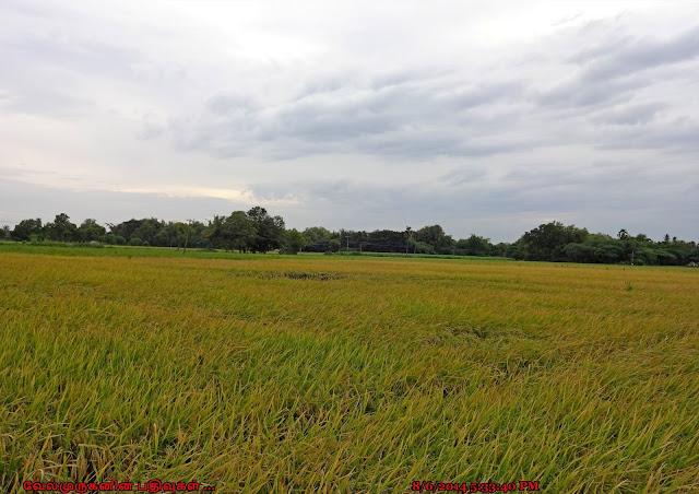 Veyyalore Rice Fields