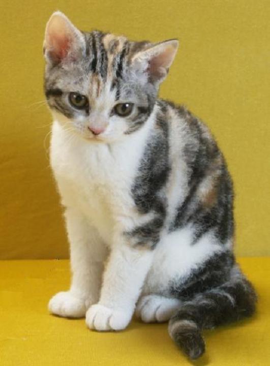 ocicat kittens for sale
