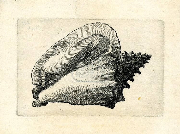 Rembrandt Exhibition Shell : Spencer alley sea shell proofs by wenceslaus hollar