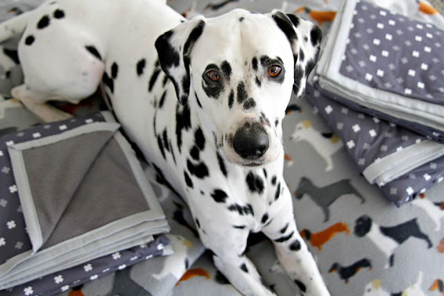 Dalmatian dog lying down with piles of pretty folded dog blankets