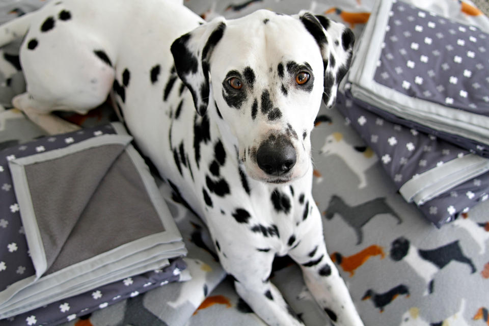 Dalmatian on a comfy pile of dog blankets