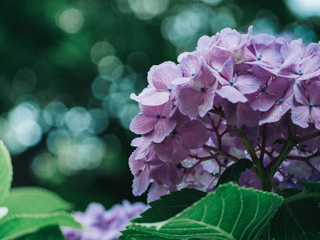 Pink hydrangea with green leaves.