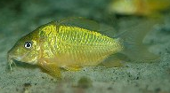 Jenis Ikan Corydoras splendens