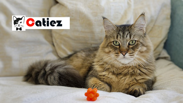 pixie-bob cat - all you want to know about pixie-bob cats