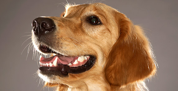 HD Animals: healthy dog teeth