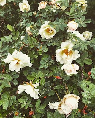 meidän juhannusruusu kukkii valkoisia kukkia