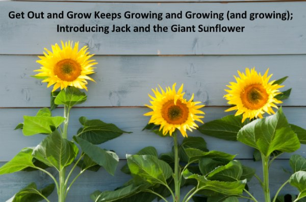 Jack and the Giant Sunflower