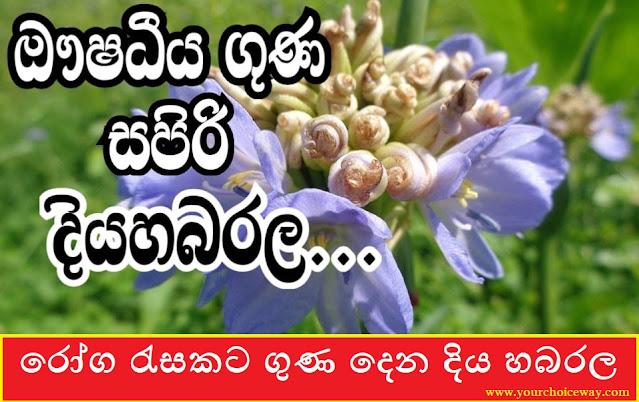 රෝග රැසකට ගුණ දෙන දිය හබරල (Eichhornia Crassipes) - Your Choice Way