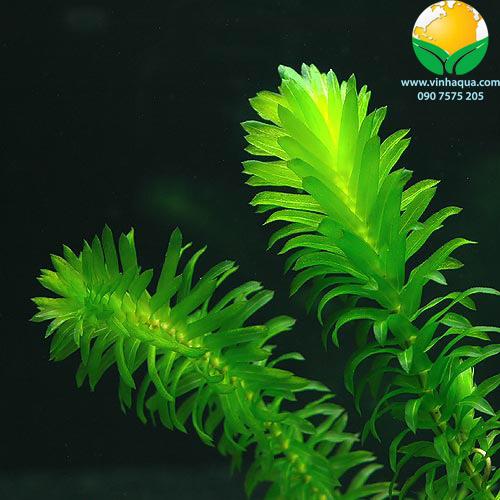 vẻ đẹp của cây thủy sinh ngô công thảo
