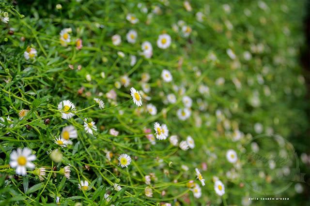 Bunga Daisy Putih Kecil