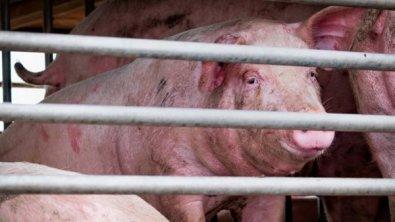 POTENCIAL PANDÊMICO: Novo vírus da gripe é descoberto em porcos