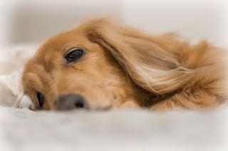 posição de acupuntura para cães