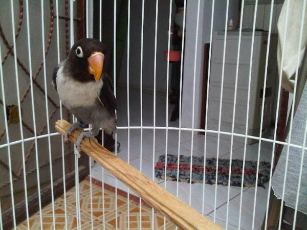 jenis love bird dan harganya   info terbaru