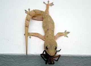A lagartixa-doméstica-tropical (Hemidactylus mabouia) é uma espécie de lagartixa de pequenas dimensões (de 20 mm a 110 mm), que anda nas paredes das casas, sobretudo quando chove. A dieta deste animal é variada, inclui animais como aranhas, escorpiões, insetos, em especial baratas e espécies Orthoptera, e até outras lagartixas.