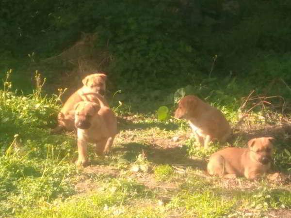cachorro cruce sharpei