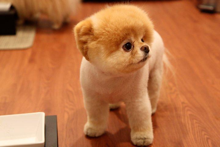 Dog Wallpaper The World S Cutest Dog Boo Wallpaper 1080p