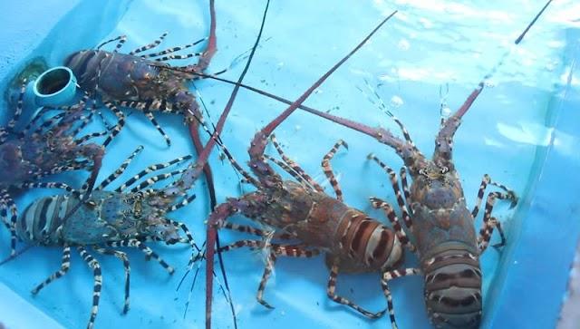 Budidaya Lobster Dengan Akuarium Modal Cepat Balik