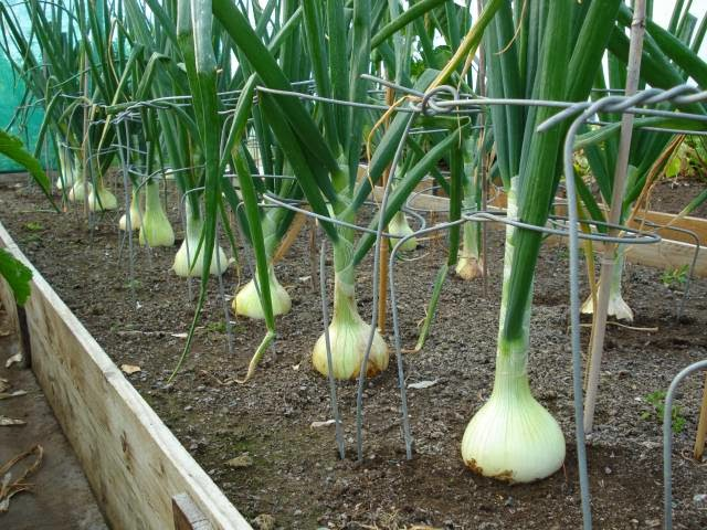 Rows of white bulb onions
