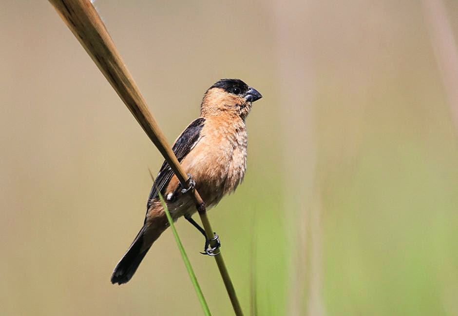 Pearly bellied Seedeater
