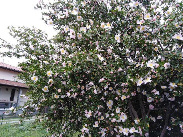 Fioritura Camellia sasanqua