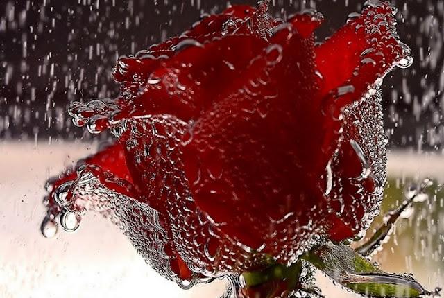 Rose Quotes, happy rose quotes