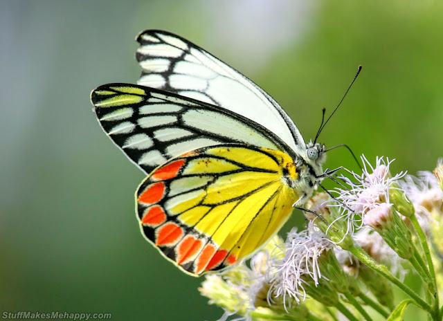 Butterfly Pics, Butterfly Pictures and Wallpapers