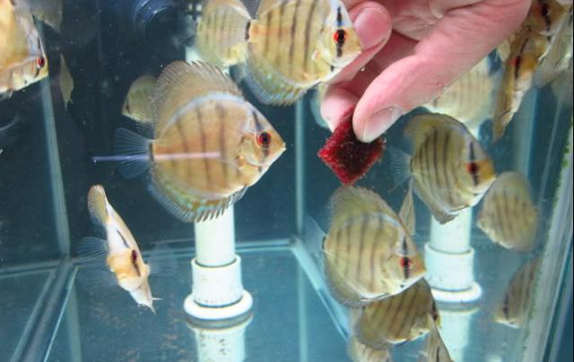 Makanan Terbaik Untuk Ikan Discus