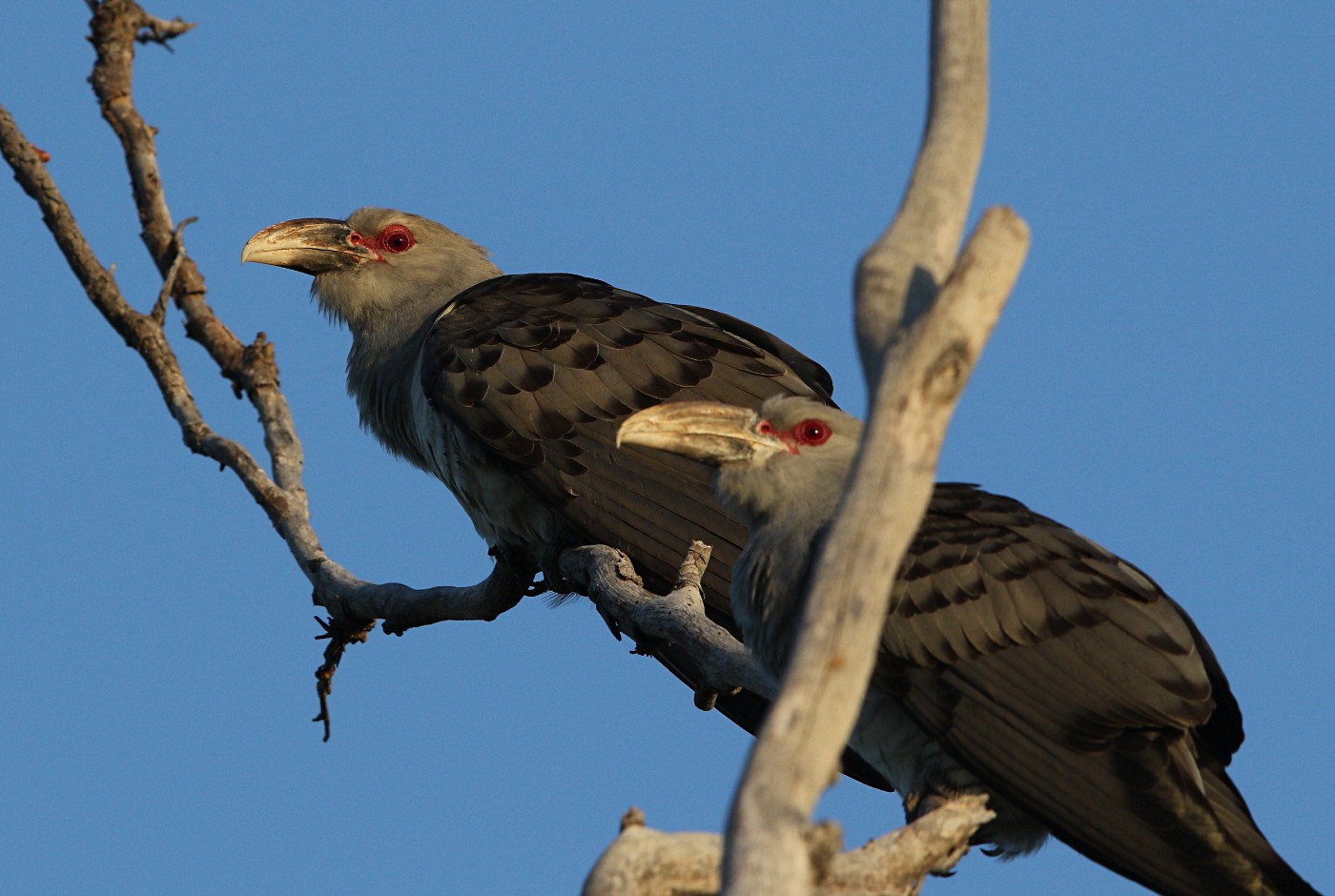 Ravens Too Quick For Channel Billed Cuckoos