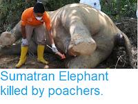 https://sciencythoughts.blogspot.com/2018/11/sumatran-elephant-killed-by-poachers.html