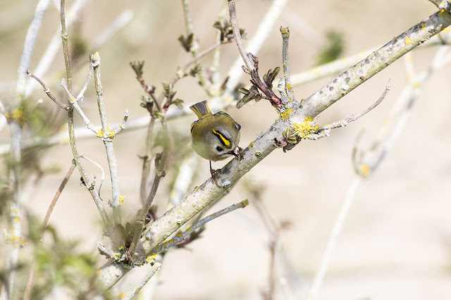 Flash of Gold - Goldcrest