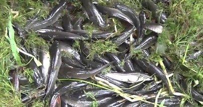Gambar Anak Ikan Kutuk gabus Berbagai Ukuran