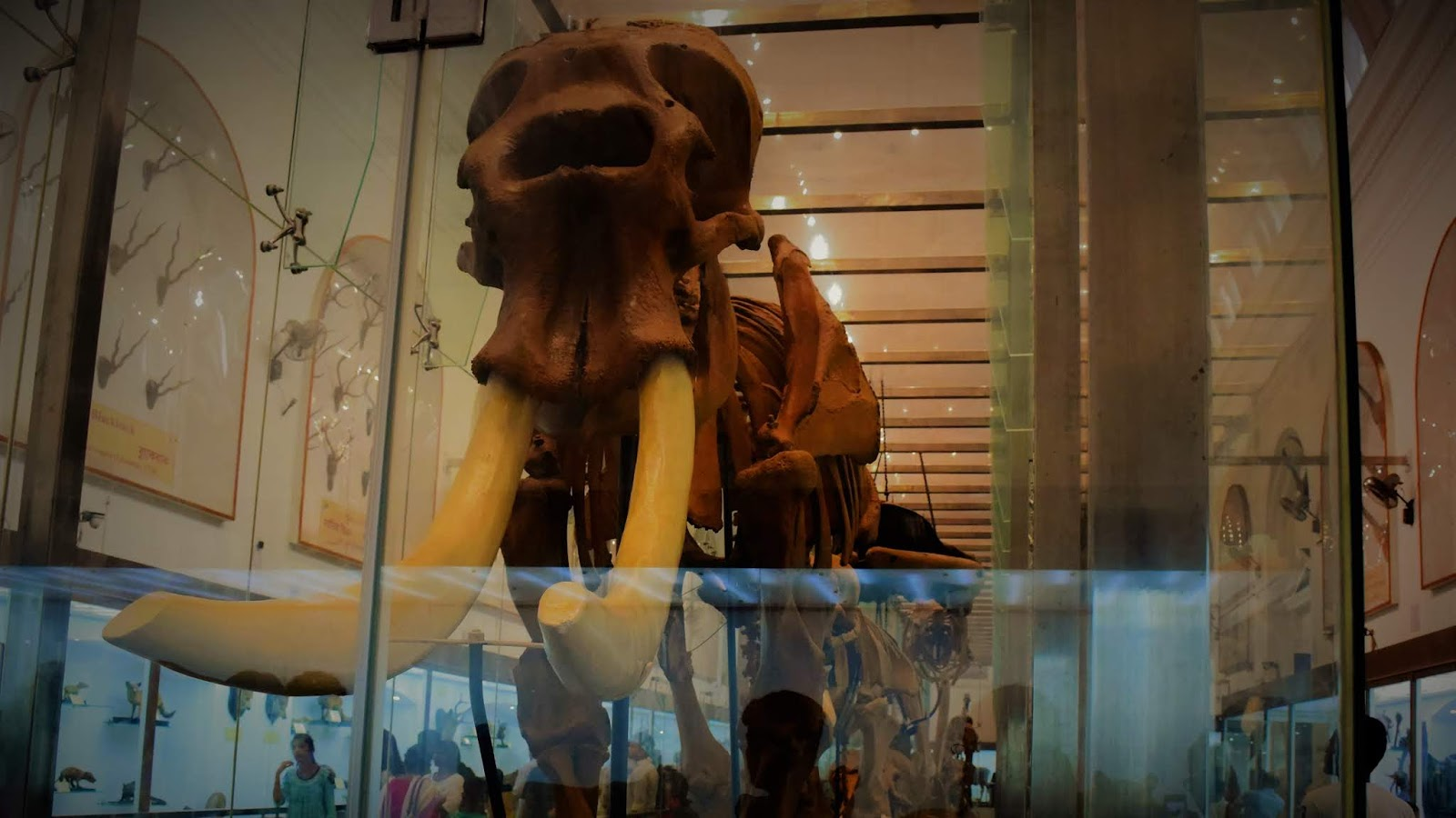 The massive skeleton of the Mammoth at the Indian Museum Kolkata
