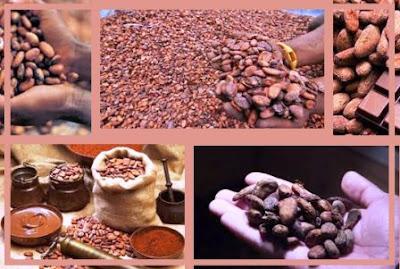 produsen distributor supplier biji kakao / bahan cokelat kering / bubuk