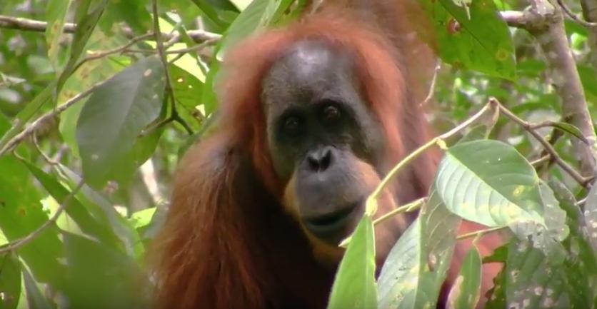 Video Spesies Baru Orangutan Ditemukan Dan Terancam Punah