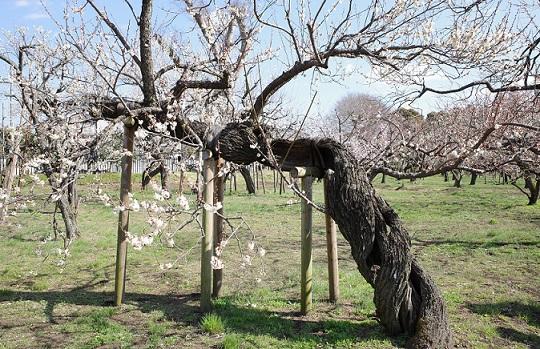 枯れた幹に咲く白梅