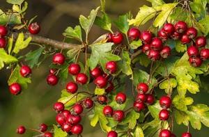 9 Manfaat Utama Buah Hawthorn Berry Bagi Kesehatan