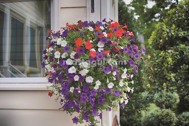 Tanaman Bunga Hias Petunia