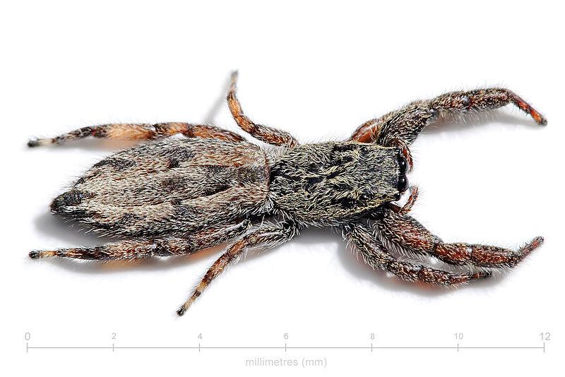 Arachnids: Holoplatys semiplanata with scale
