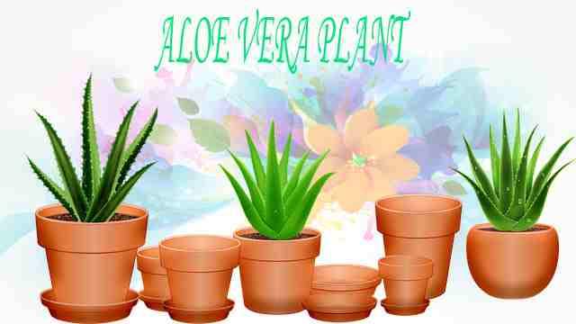use fo aloevera in hindi,एलोवेरा का उपयोग हिंदी में,जाने एलो वेरा के fayde और nuksan,aloe vera juice kaise banaye in hindi,एलोवेरा joint pain के लिए