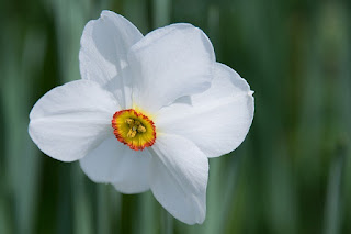 A white daffodil. Daffodils are toxic to cats.