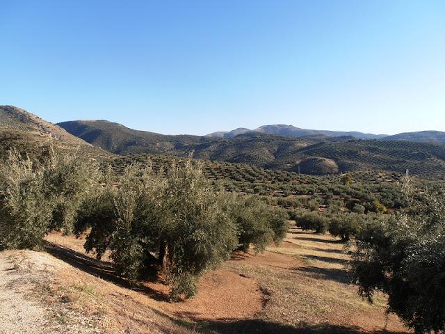 Olives Groves, Sierra  Sur de Jaen