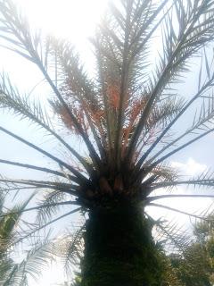pohon-kurma-berbuah