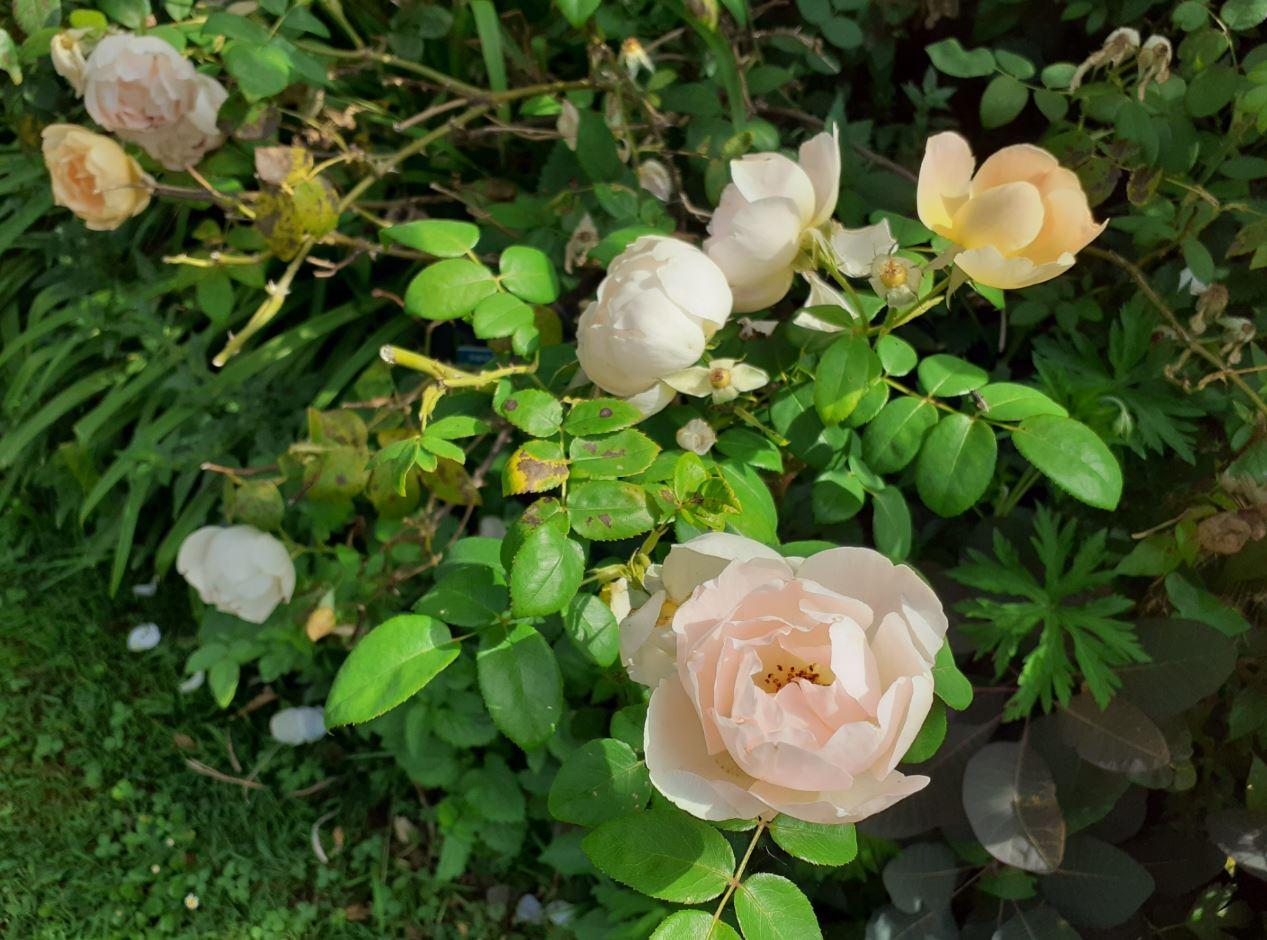 rose ancienne bonne maison mulatière lyon